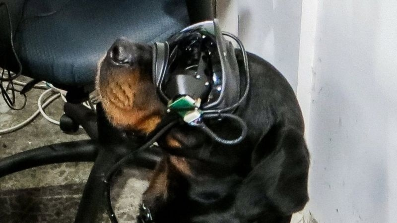 Gogle dla psów pozwolą nawigować bez obecności przewodnika (fot. Command Sight)