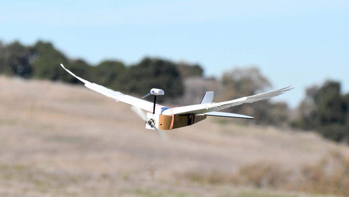 Dron dzięki skrzydłom zyskuje lepszą zwrotność (Źródło: Lentink Lab/ Stanford University)