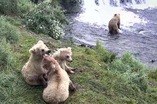 Google Earth Stream - Niedźwiedzie