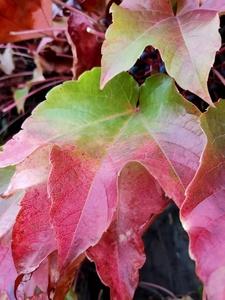 Oppo Reno 10x Zoom - liście olśniewający kolor