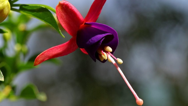 Google Fuchsia Flower