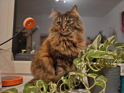 Tryb sztucznej inteligencji rozpoznaje koty