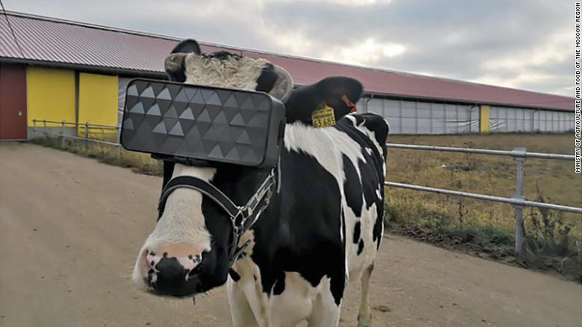 Krowy z goglami VR wydawały się być szczęśliwsze